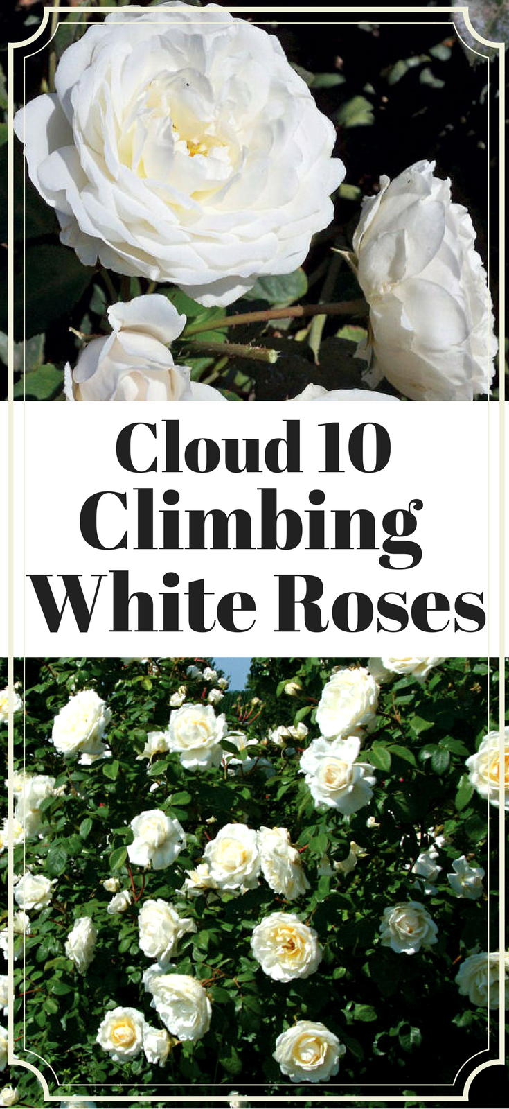 Cloud 10 Climbing Rose Bush Large White Flowers Own Root Potted