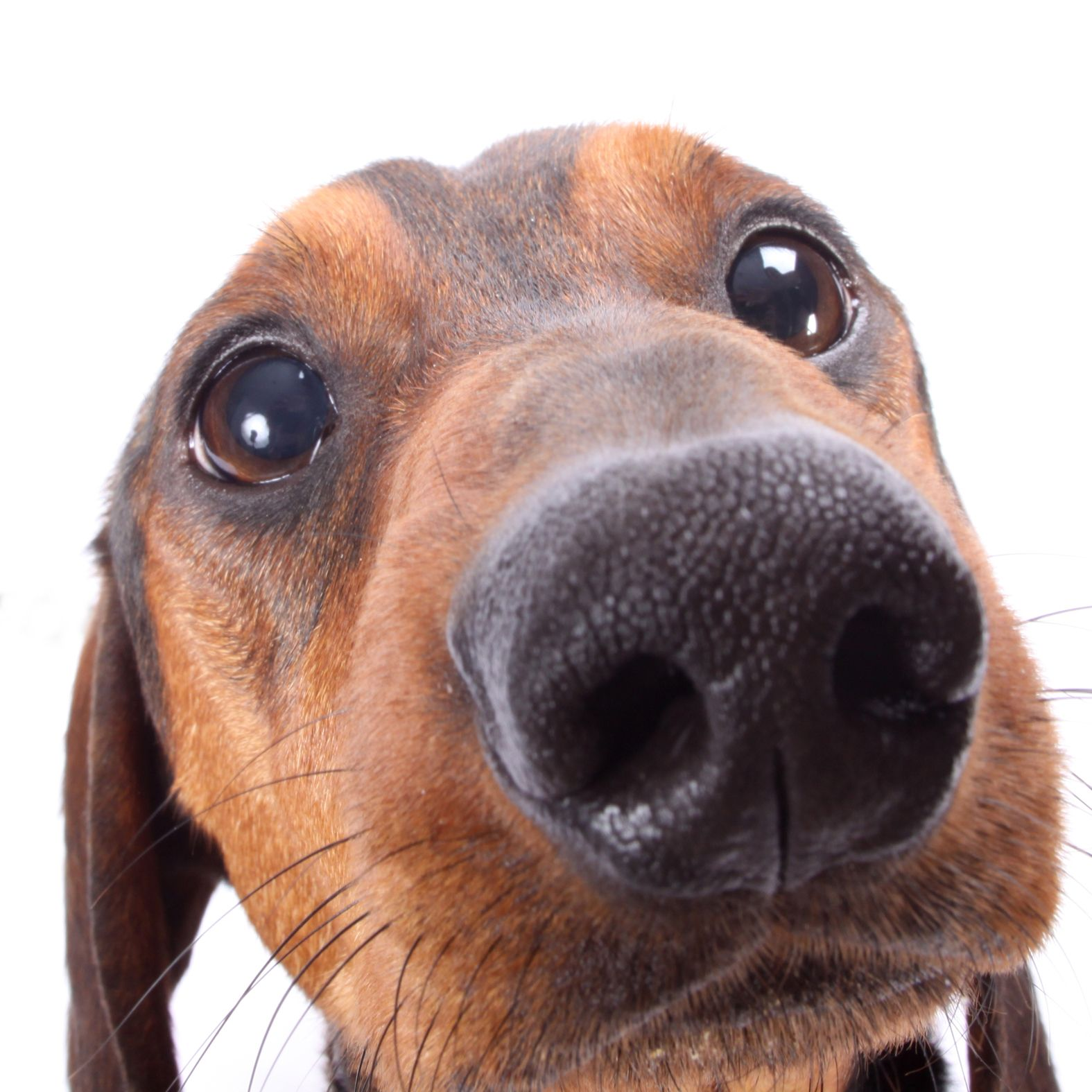 Close Up Doxie Schnoz Cute Dachshund With Images Dachshund