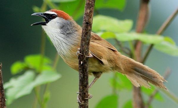 Http Hargacara Com Harga Burung Kaso Kaso Html Beautiful Birds Ciri Animals And Pets