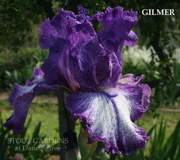 TB Iris GILMER - Burseen 10 Photo by Stout Gardens at Dancingtree