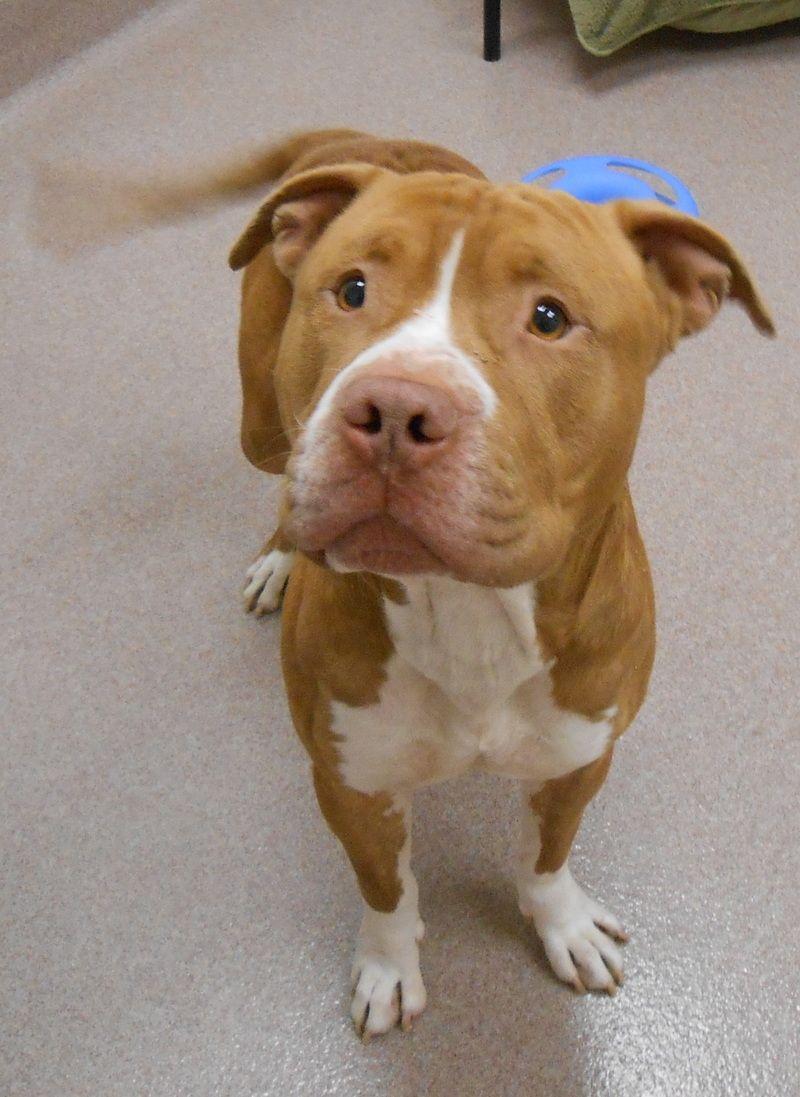 Adopt Prince On Dog Love Pitbull Terrier Animals