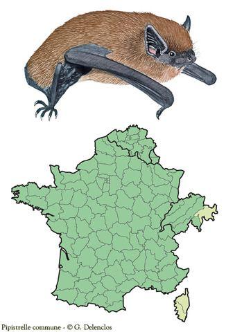 Pipistrelle Commune Chiroptere Sologne Chauve Souris