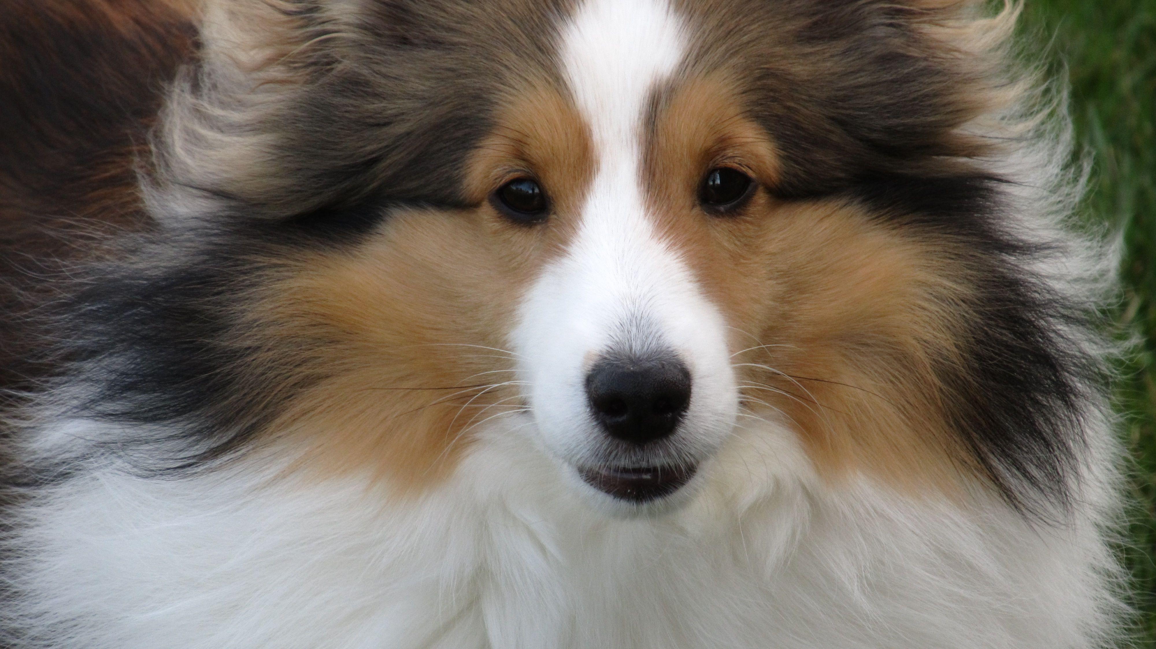 sheltie Sheltie dogs, Shetland sheepdog, Collie dog