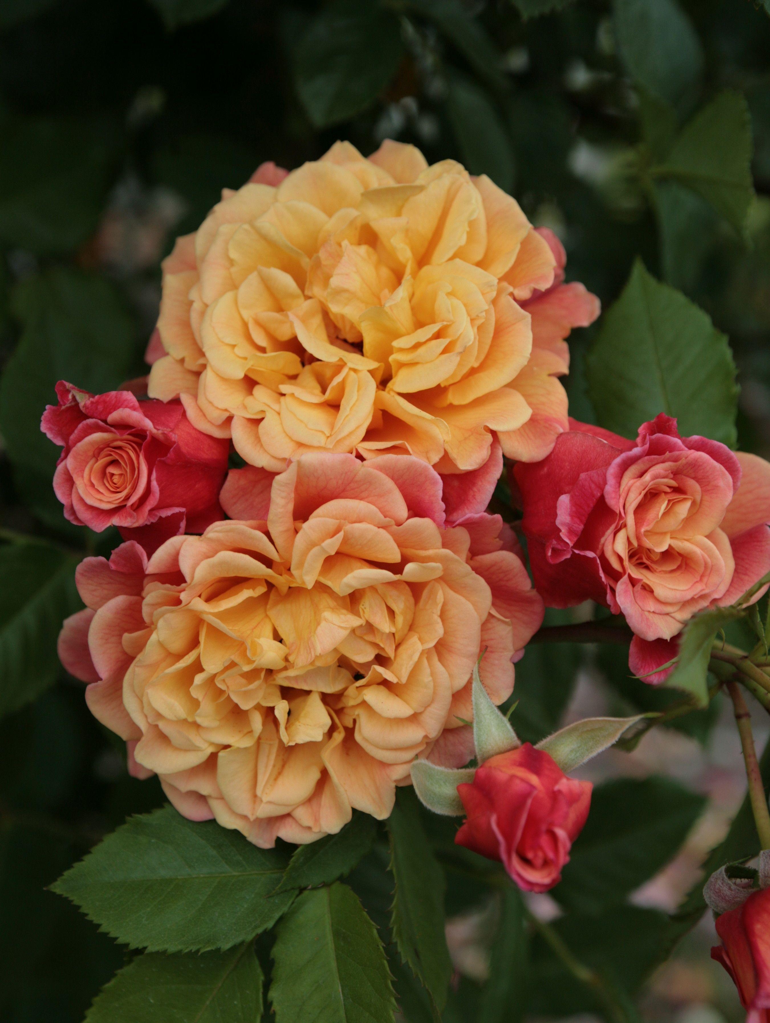 aloha kordes rose roses pinterest rose flowers and. Black Bedroom Furniture Sets. Home Design Ideas