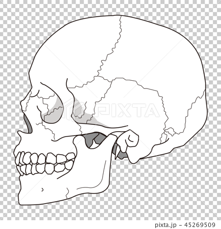 イラスト素材 頭蓋骨 側頭部 細線バージョン 頭蓋骨 イラスト Ac イラスト
