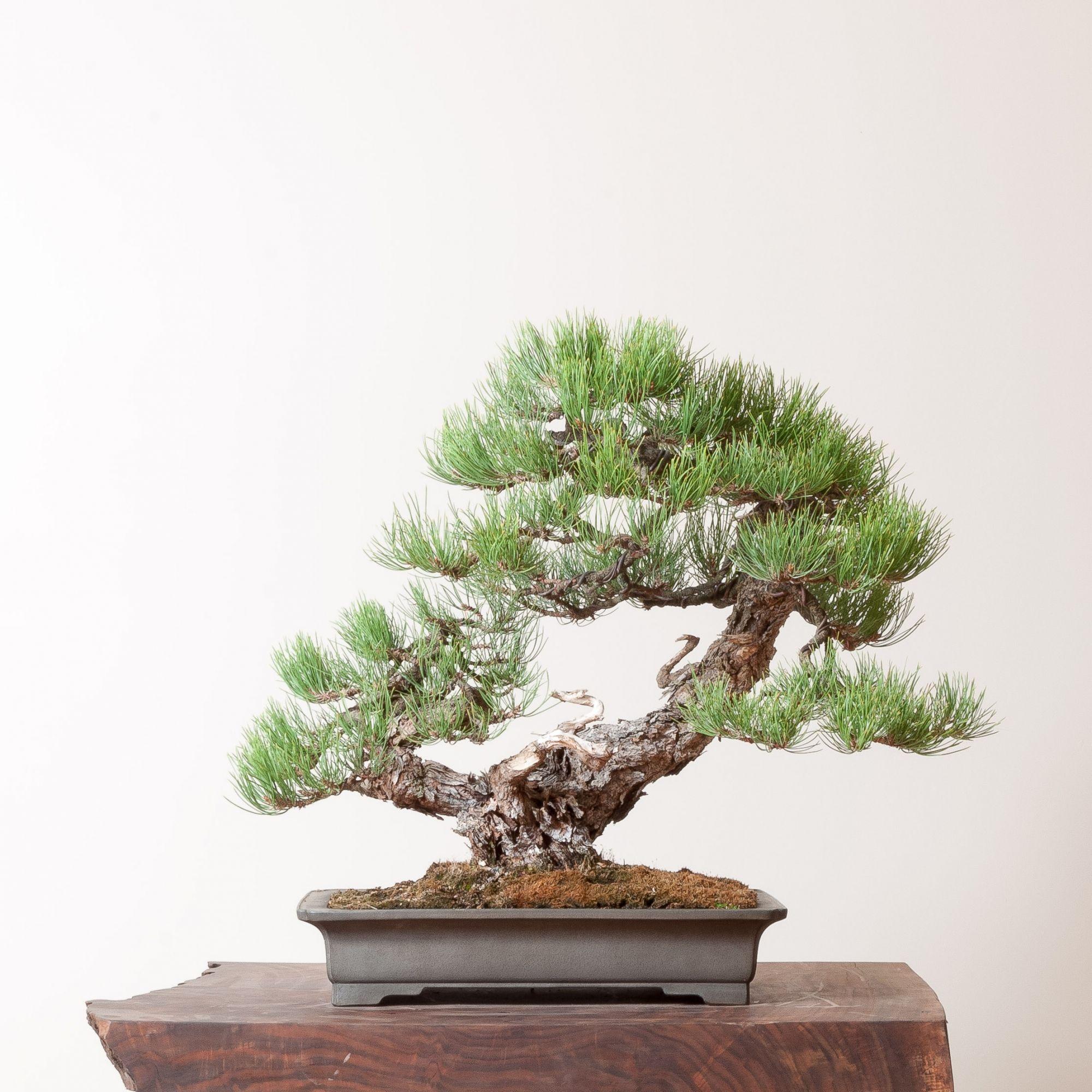 Ponderosa Pine No. 2 | Bonsai Mirai