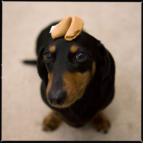 I Have No Idea What You Re Talking About So Here S A Picture Of A Dachshund With A Fortune Cookie On His Head Dachshund Pets Doxie