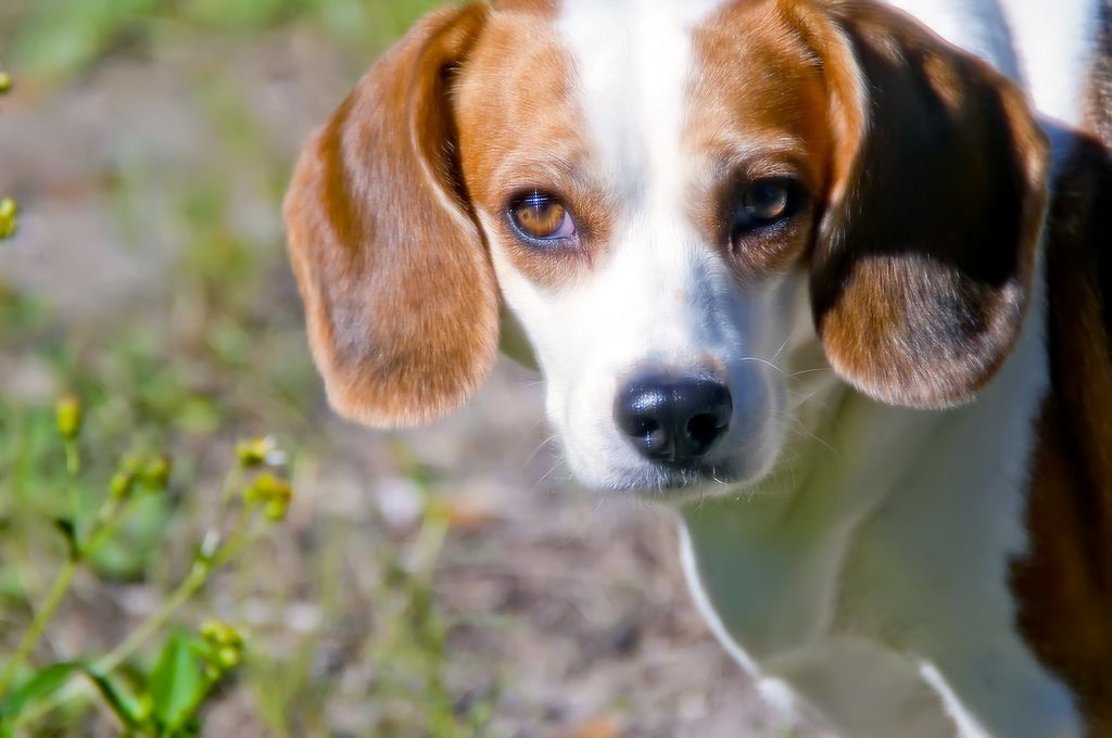 64 Beagles Released From Labs in India Get First 'Lick' of