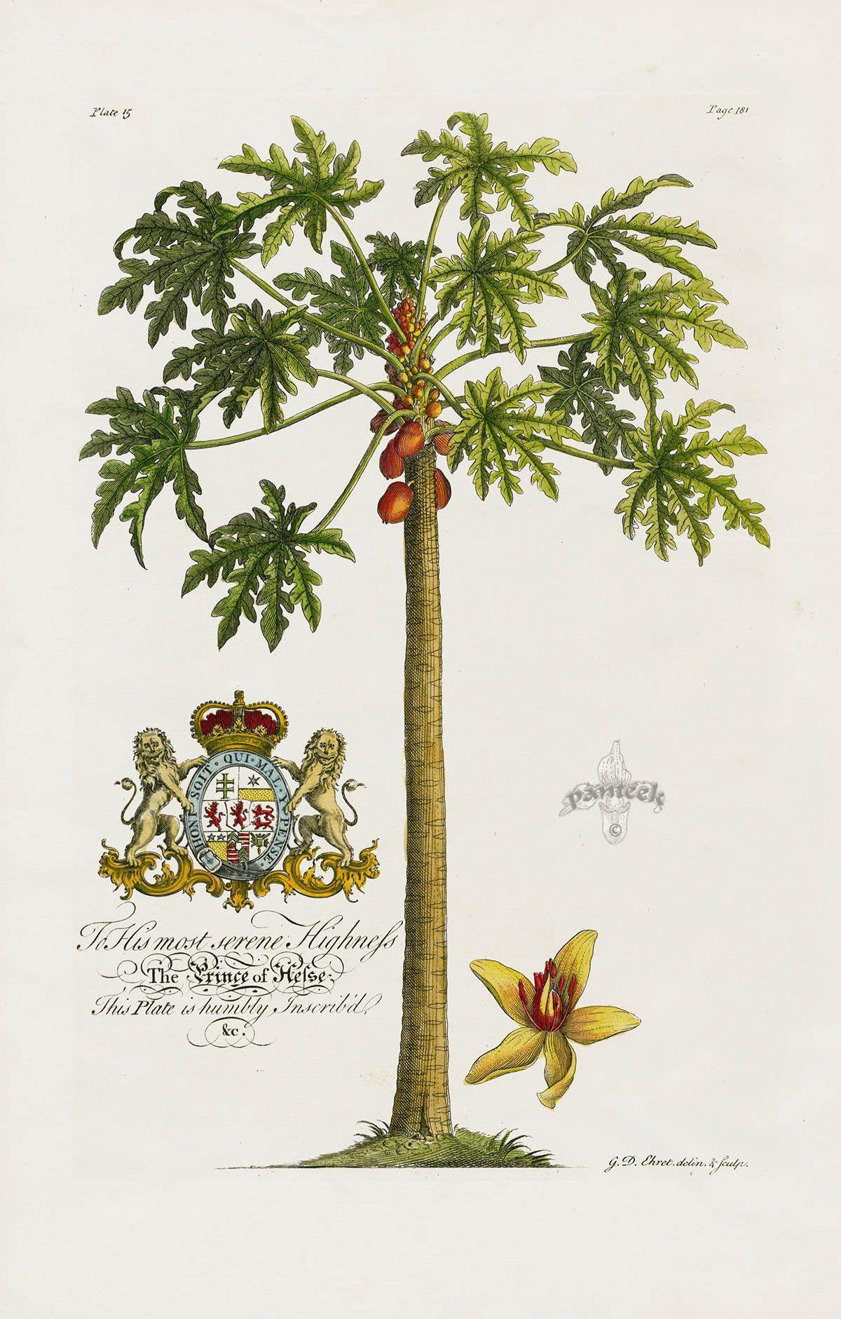 Papaya Tree from Ehret Natural History of Barbados 1750