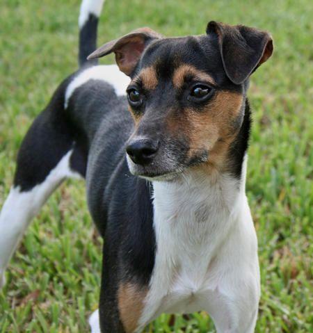 Brazilian Dog Breeds 2008091710161 Avatar Jpg W450 Jpg Terrier