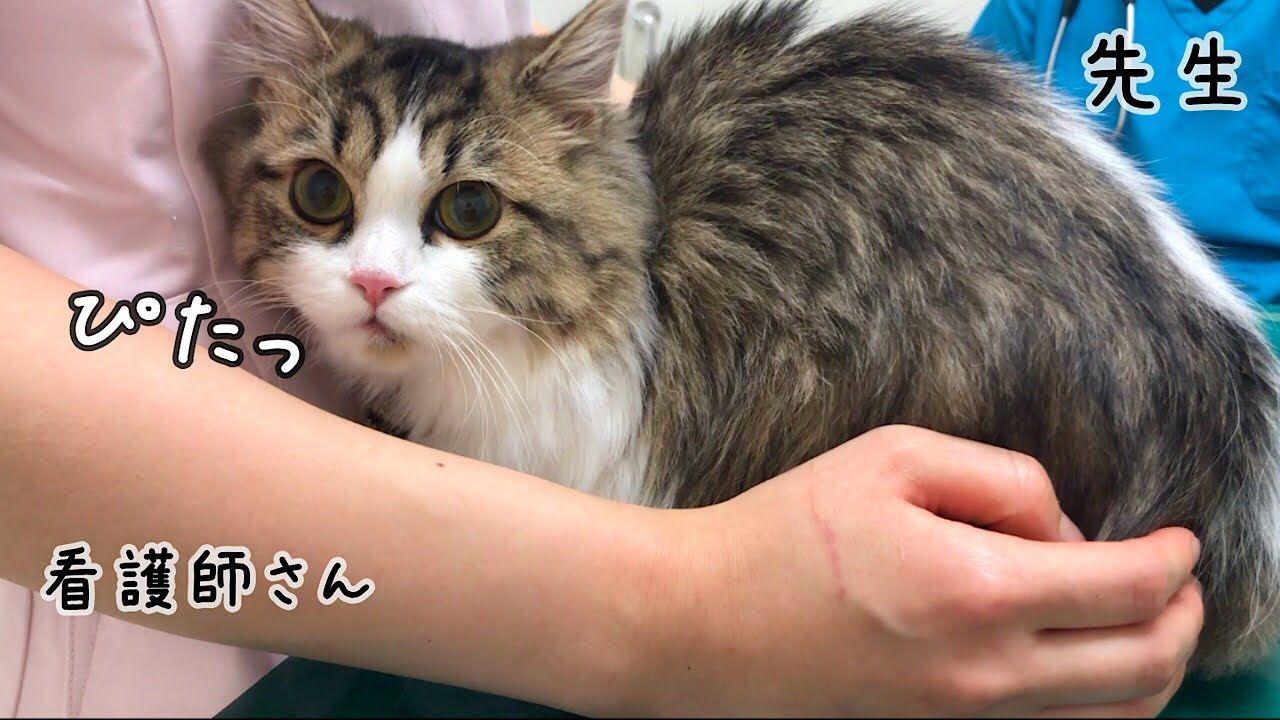 猫の病気 病院が怖すぎてお姉さんにくっついちゃう猫 Youtube おかしな動物 猫 動物 かわいい