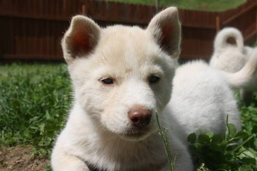 Beige Husky Puppy With A White Sable Mark White Siberian Husky