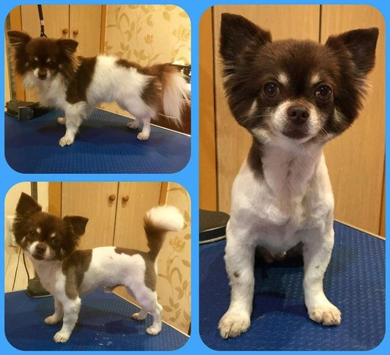 10 Best Long Haired Chihuahua Haircuts