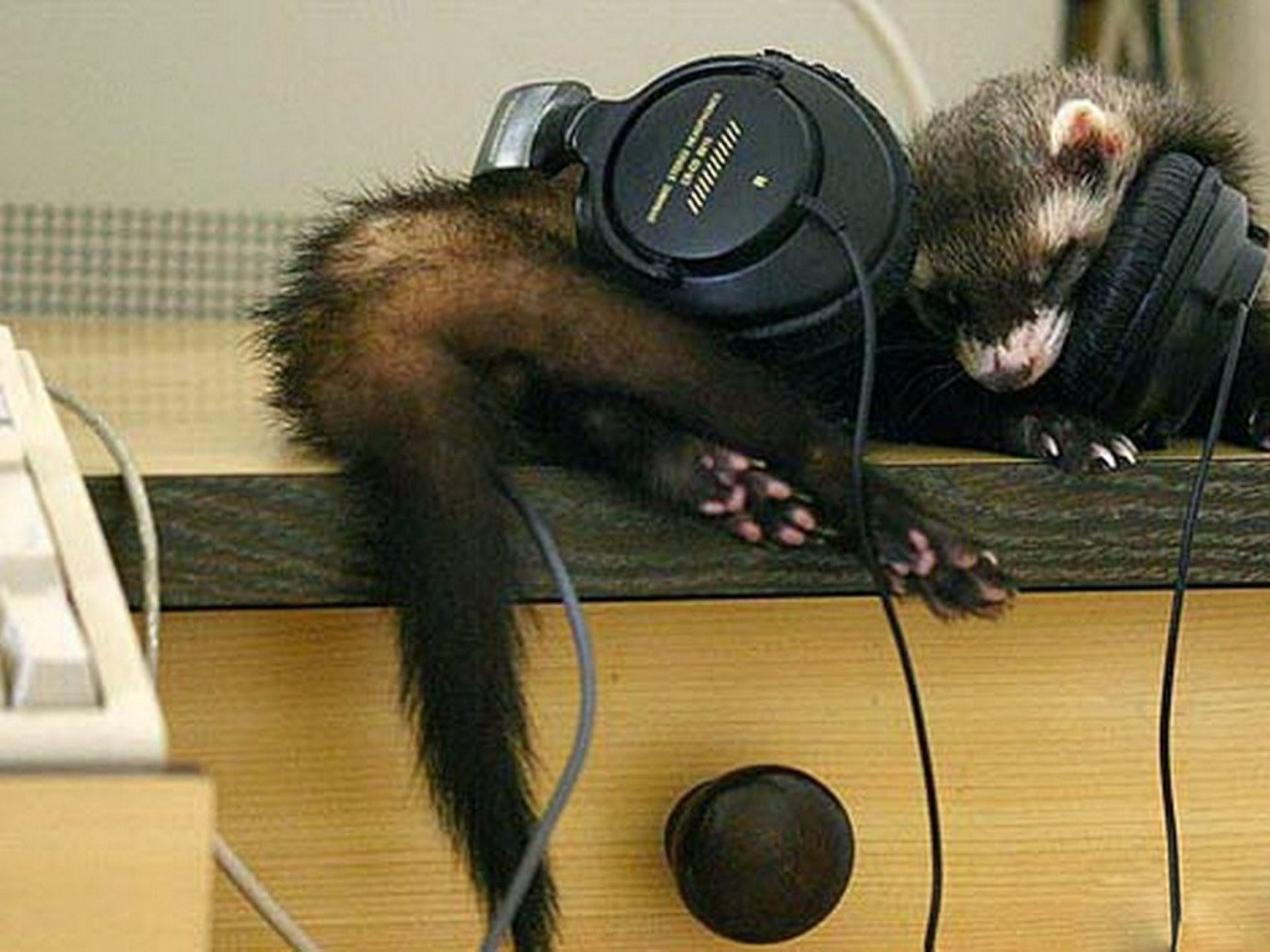 Headphones are too big for the ferret.