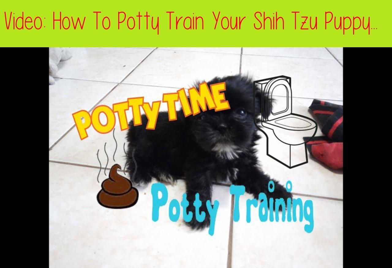 How To Potty Train Your Shih Tzu Puppy Hd Slideshow Video This