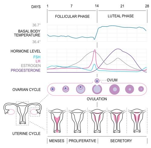 Amazing Article On How Menstrual Cycle Affect Strength In Women I