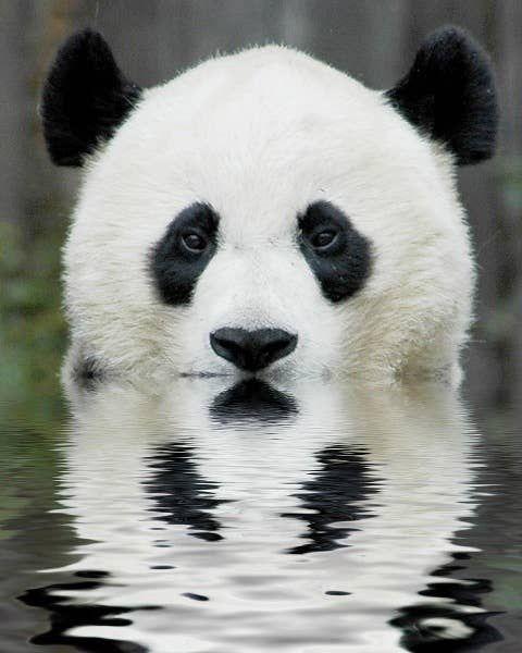 1. This isn't America's Next Top Panda Best Friend 5 Reasons Pandas Wouldn't Make Good Best Friends