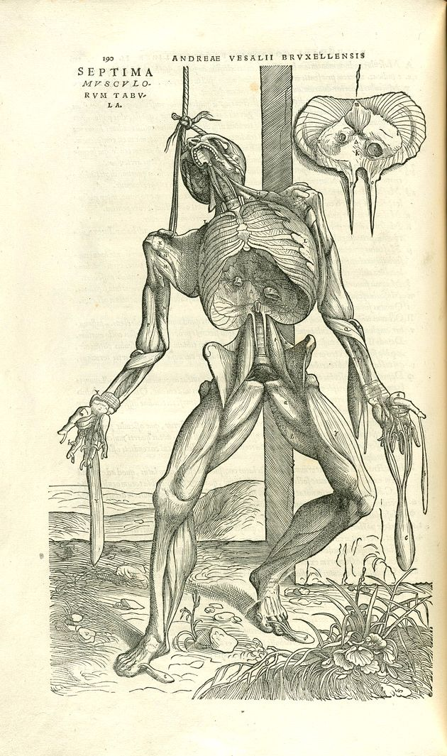 Cadaver of executed criminal, c.54.k.12, pg.120 - Andreas Vesalius ...