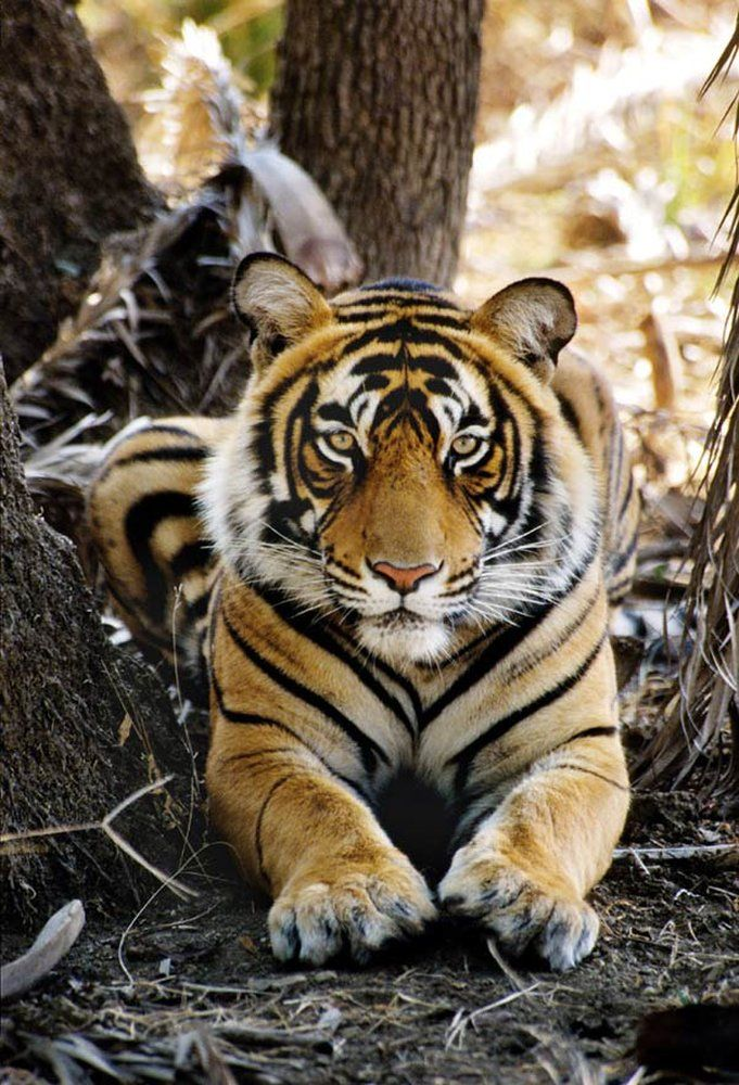 Tiger Summit What Will It Take To Save Iconic Cat Wild Cats Animals Wild Animals