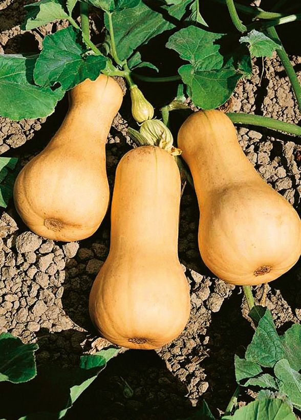 There S Still Time Butternut Squash Seeds Heirloom Seeds Squash Seeds
