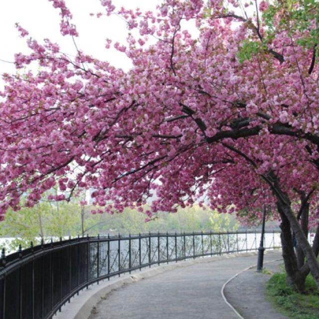 Cherry Blossoms Sakura Japan Sakura Tree Blossom Trees Beautiful Flowers