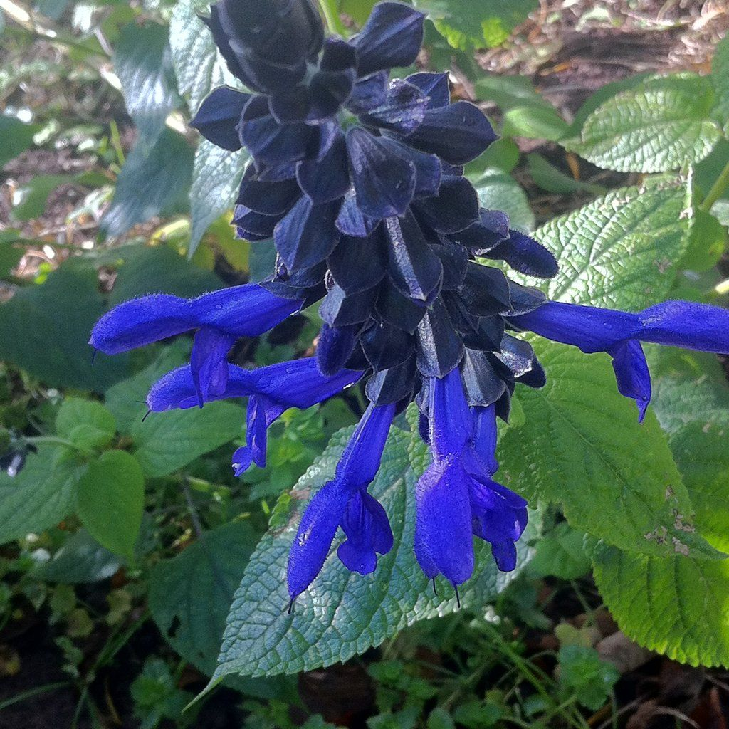 Salvia Guaranitica Black And Blue Salvia Flowering Plants And