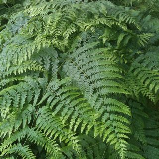 Fern. I need more of these.