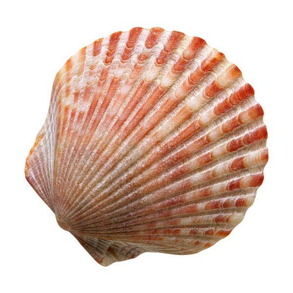 Kosmetika Tiande 26 Png Na Yandeks Fotkah Sea Shells Shells Scallop Shells