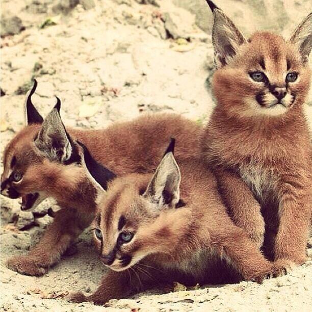 Runa Wakatuki0417 On Twitter Cute Animals Baby Animals Caracal Kittens