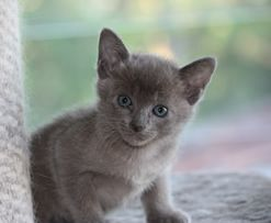 Grey Tonkinese Kitten Loving And Good With Other Pets