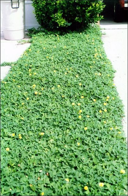 Perennial Peanut Used As A Ground Cover In Florida