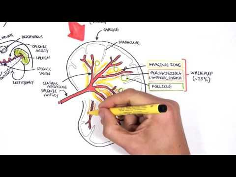 Spleen Anatomy and Physiology - YouTube | Medical | Pinterest