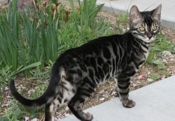Beautiful Charcoal Bengal cat.