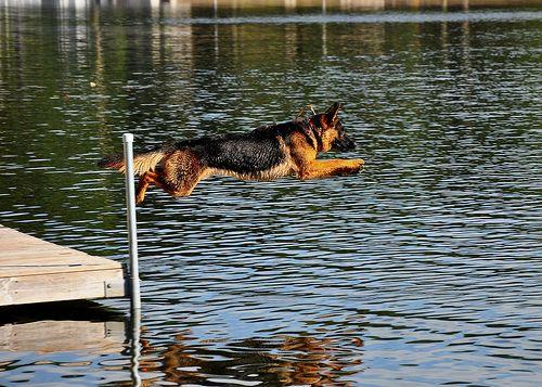Do German Shepherds Like To Swim German Shepherd Dog Forums