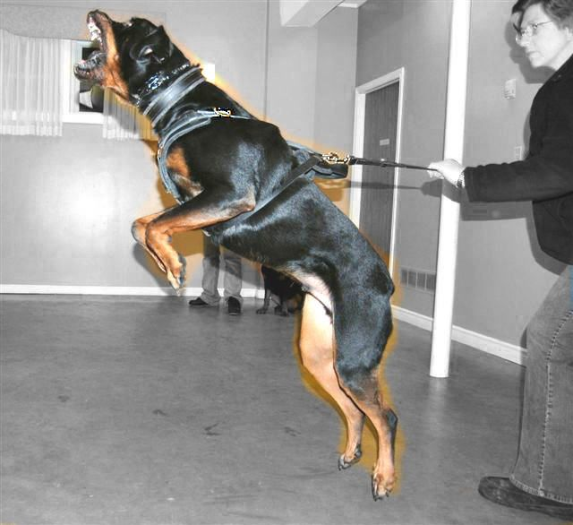 Police and Tracking #Dog #Harness for #Rottweiler $79.90 | www.all-about-rottweiler-dog-breed.com