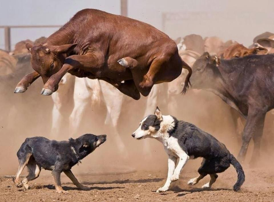 Ranch Dogs have no feaT-shirt might just be the craziest pic of Heelers I've seen yet!