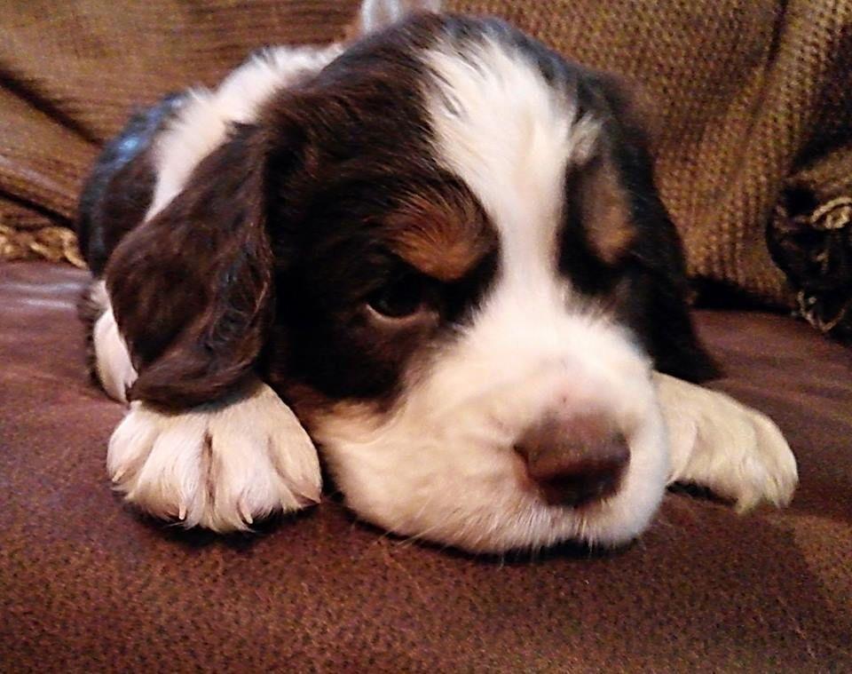 English Springer Spaniel Puppy Love Www Facebook Com Sunshinespringers Springer Spaniel Puppies English Springer Spaniel Puppy Spaniel Dog