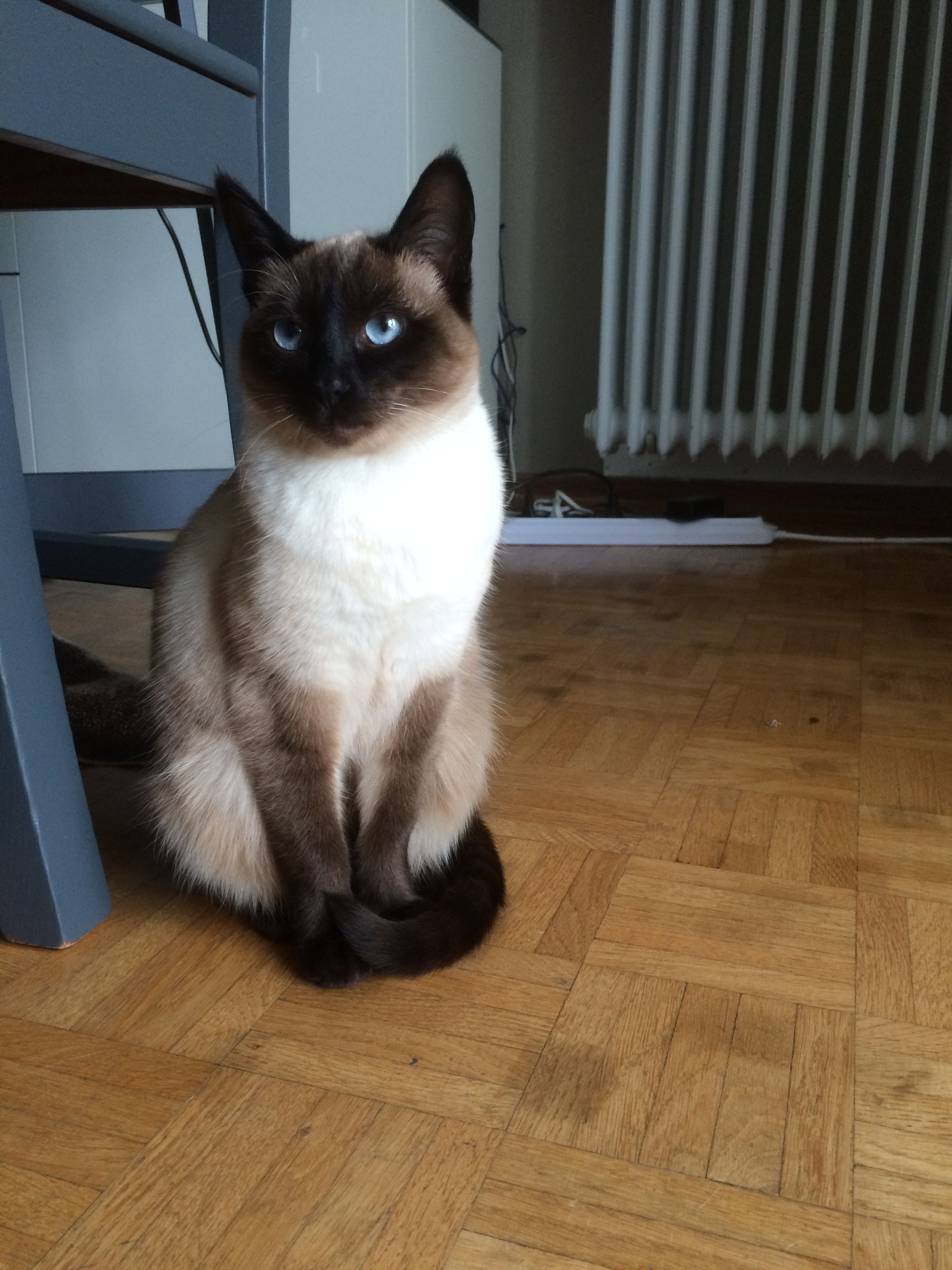 My 9 Month Old Siamese Cat Kaya Cute Cat Breeds Cats Siamese Cats