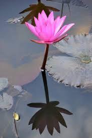 significado da flor de lotus - Pesquisa Google