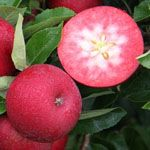 great apple for fun! red inside, great for kids!great sweet taste!  I love it for our orchard!