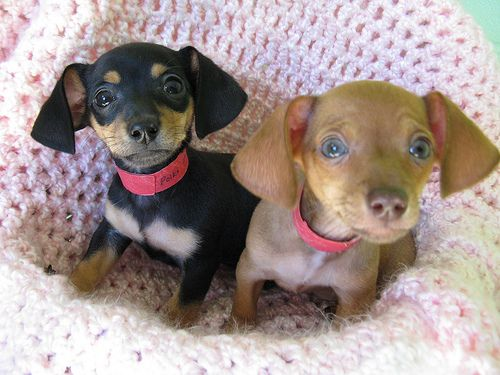Chihuahua Mix Puppies Chihuahua Mix Puppies Cute Animals