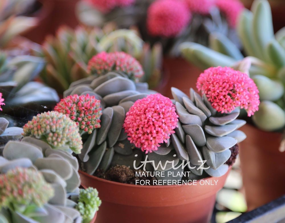 3 Crassula Morgan S Beauty Rare Morgans Pink Flower Succulent Cactus Itwinz Itwinz Cactus Flower Succulents Blooming Plants