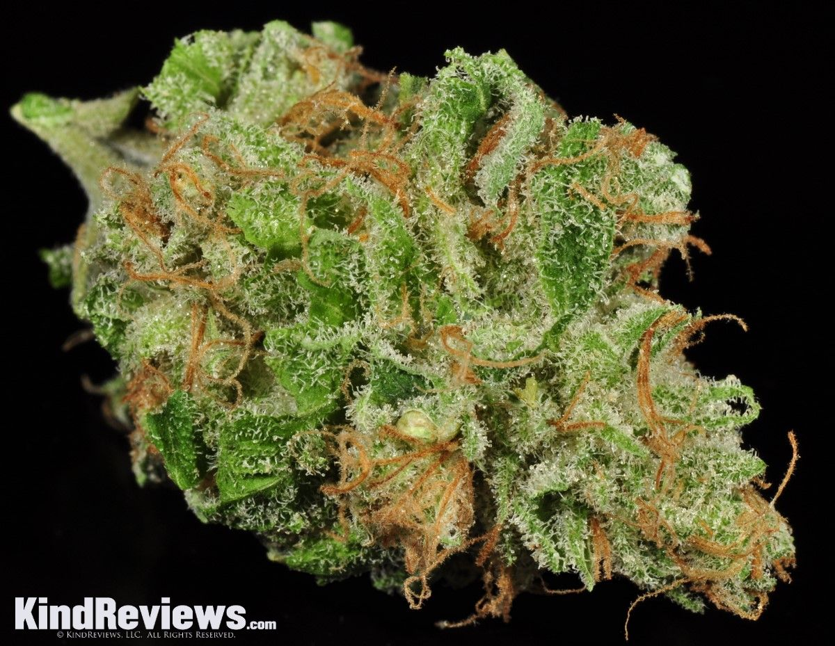 """Since the 1960's, """"Maui Wowie"""" (or """"Waui"""") was known as an especially exotic and desirable strain to cannabis connoisseurs the world over.  While it's unclear if the original genetic line is still alive and kicking, there are certainly many strains from Maui that are similar and capture the same smooth, citrus-pine taste and the enjoyable mid-level Sativa effects that it became famous for.  As far as the dispensary scene goes, it seems that Maui Wowie and """"Maui"""" operate interchangeably for…"""