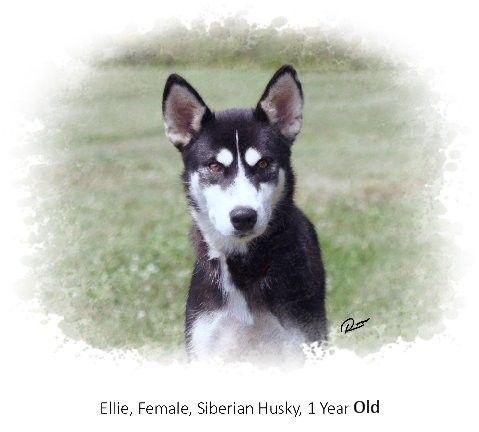 Adopt Ellie On Siberian Husky Mix Husky Pets