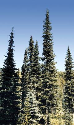 """subalpine fir - """"high alpine fir"""""""
