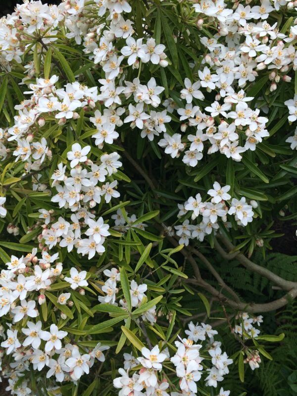 Garden Answers Plant Identification Evergreen Shrubs Garden Plant Identification