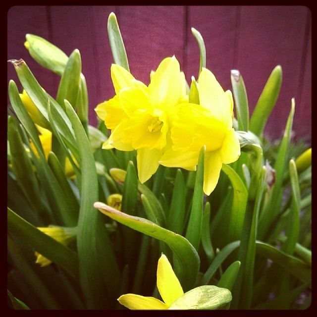 Daffodils in the spring garden.