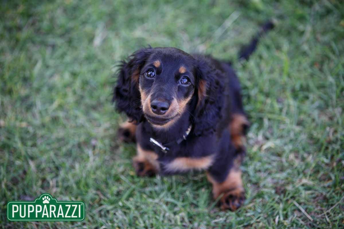 Pin By Pupparazzi Com Au On Daschunds Dachshund Long Haired