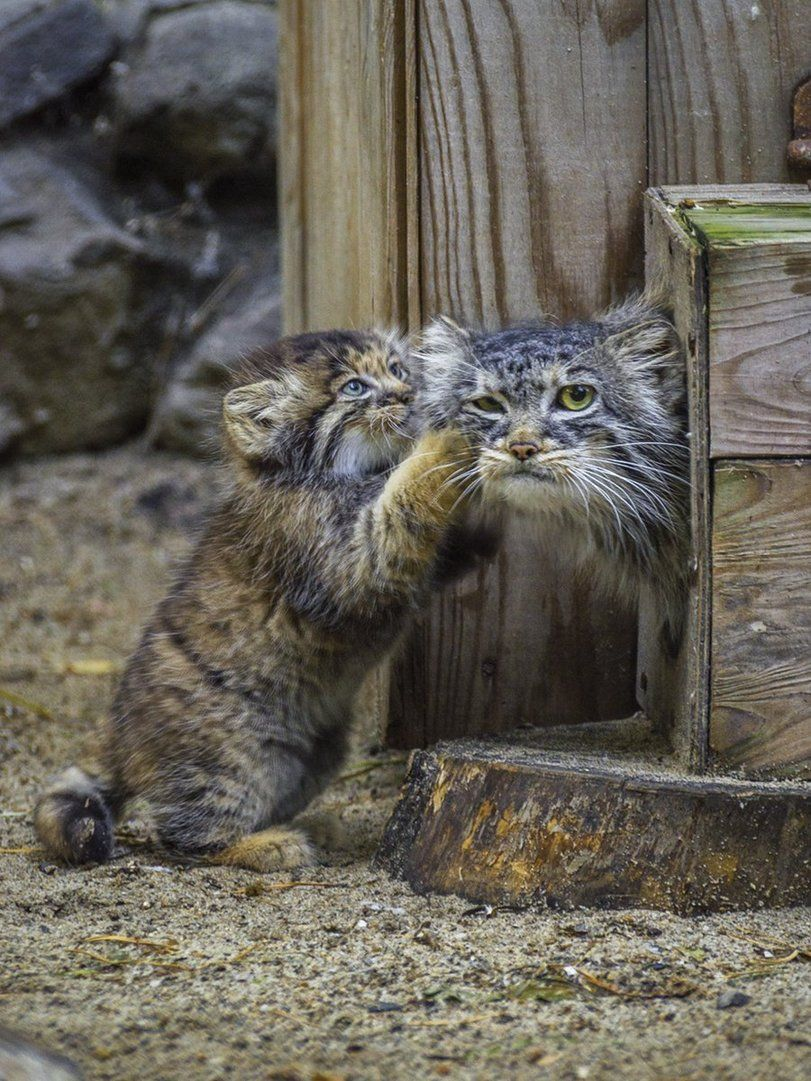 Check Our Pawsome Store If You Love Cats Www Kawaiikitty Co Follow Us For More Pawsome Purrsome Furrsome Pawtastic Cat C Cats Beautiful Cats Pallas S Cat