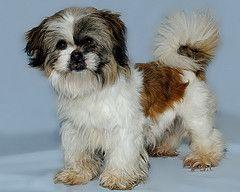 Adopt Harvey On Shih Tzu Dog Adoption Shih Tzu